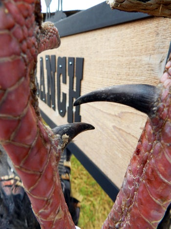 What are the Longest Turkey Spurs Ever Registered?