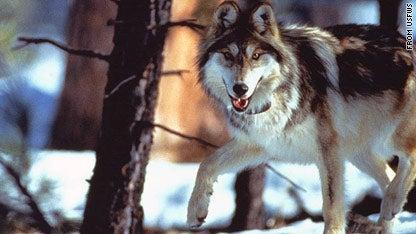 httpswww.outdoorlife.comsitesoutdoorlife.comfilesimport2013images2011046_c1main.gray_.wolf_.usfws_0.jpg