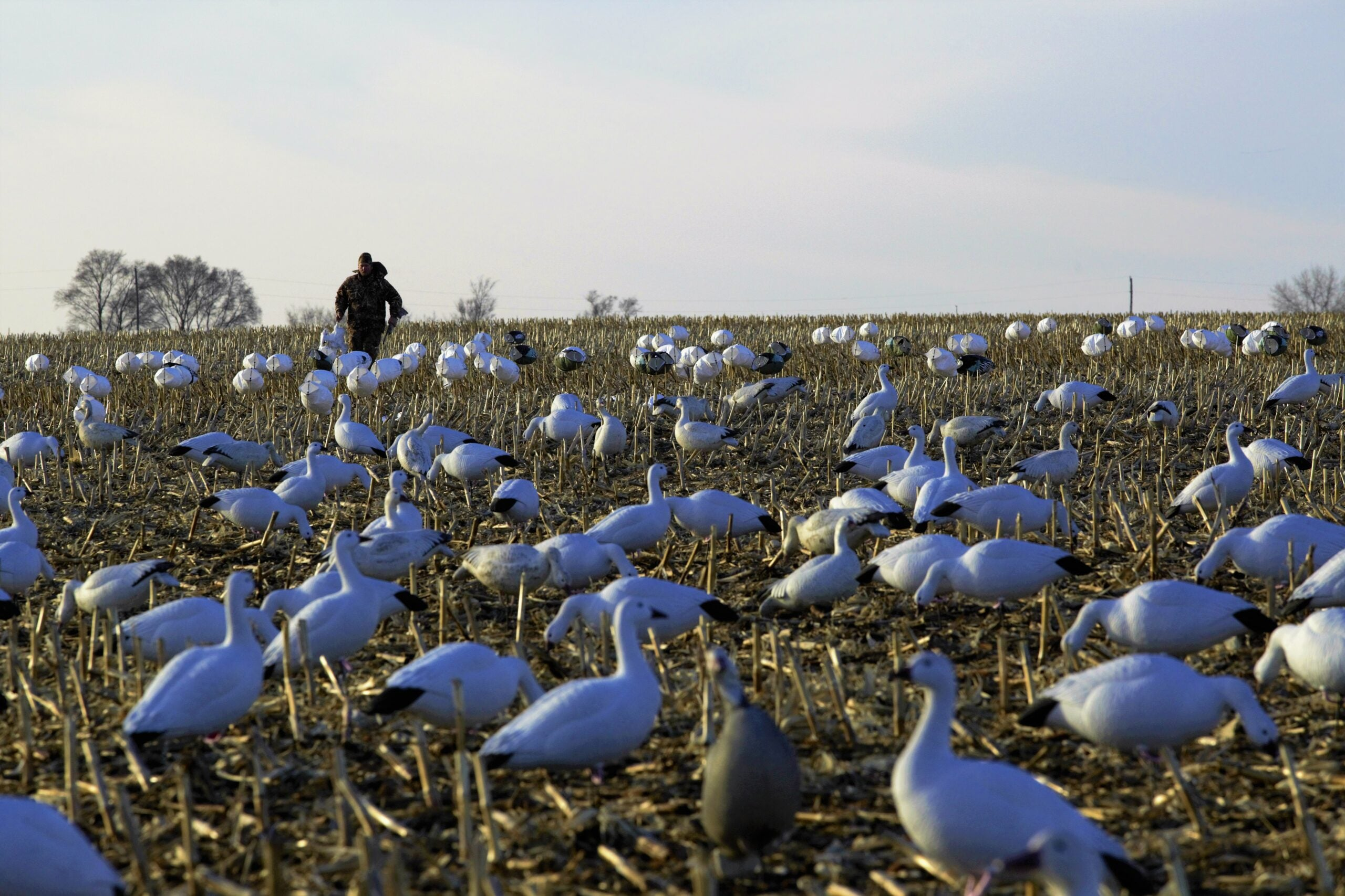 snow geese hunting