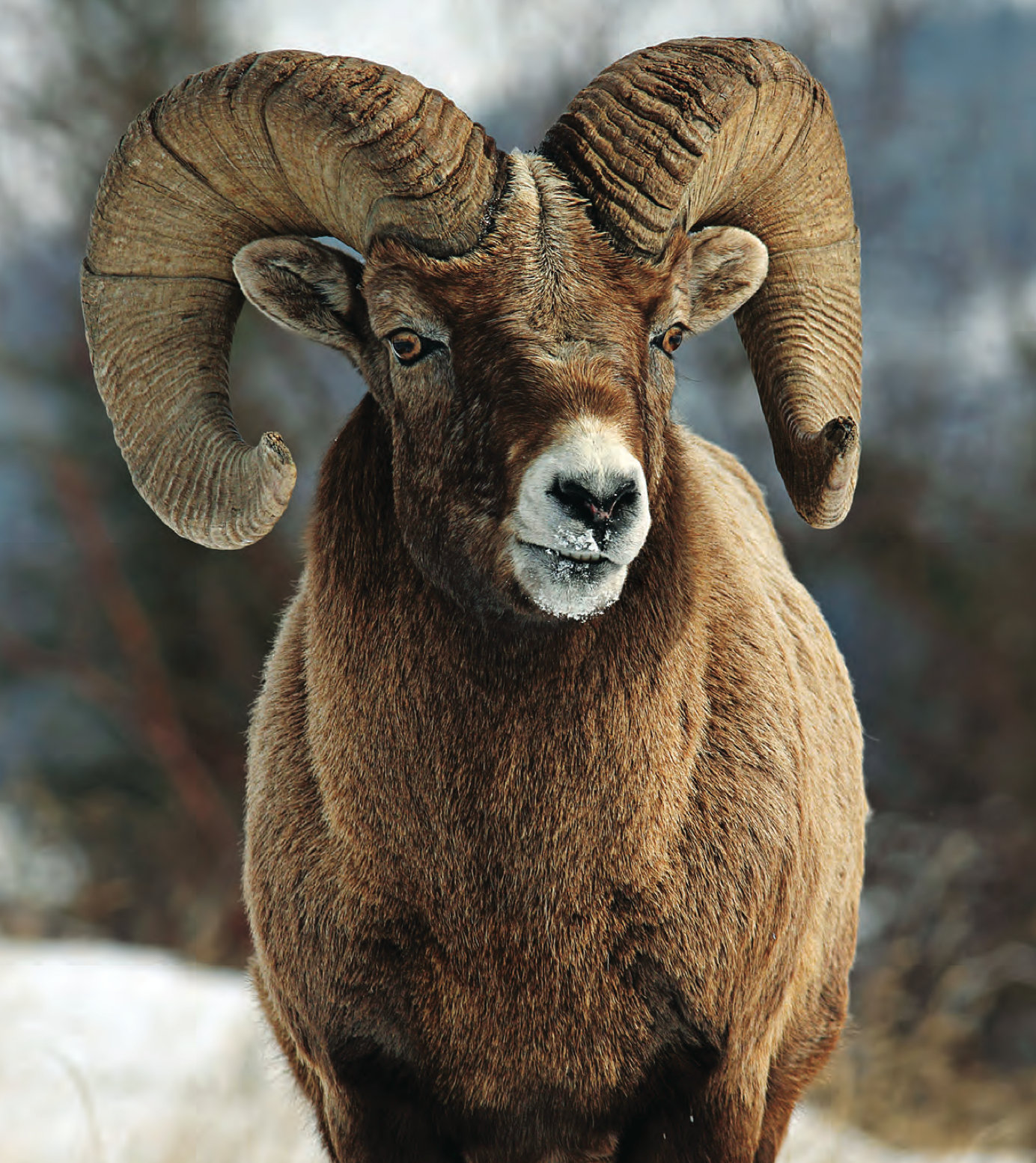 Tips and Tactics: How to Hunt Wild Sheep