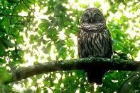 httpswww.outdoorlife.comsitesoutdoorlife.comfilesimport2013images201102barred_owls_0.jpeg