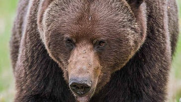 british columbia grizzly bear