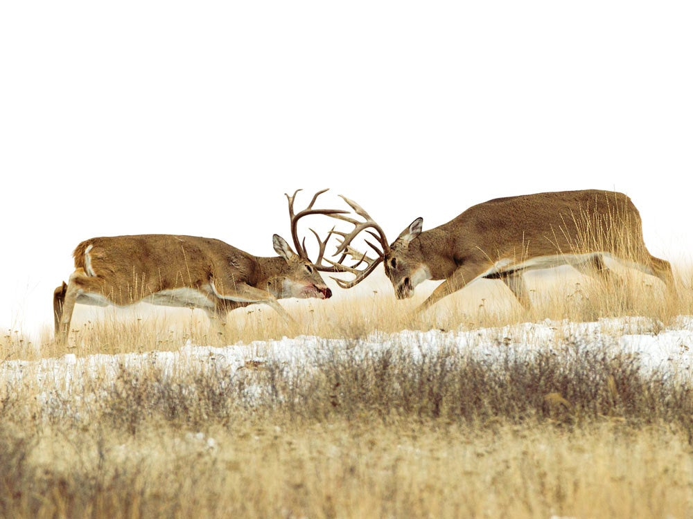Pair of bruiser whitetails fight it out