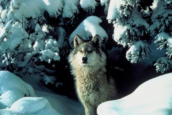 httpswww.outdoorlife.comsitesoutdoorlife.comfilesimport2013images2011045_snowy_gray_wolf_0.jpg