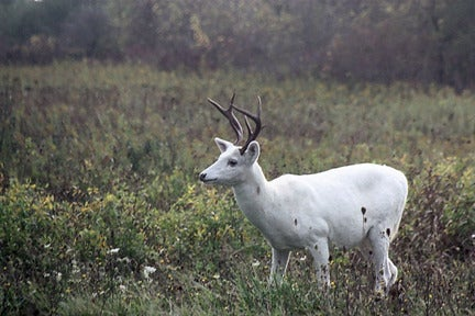 New York's White Deer Herd Could Lose Protections