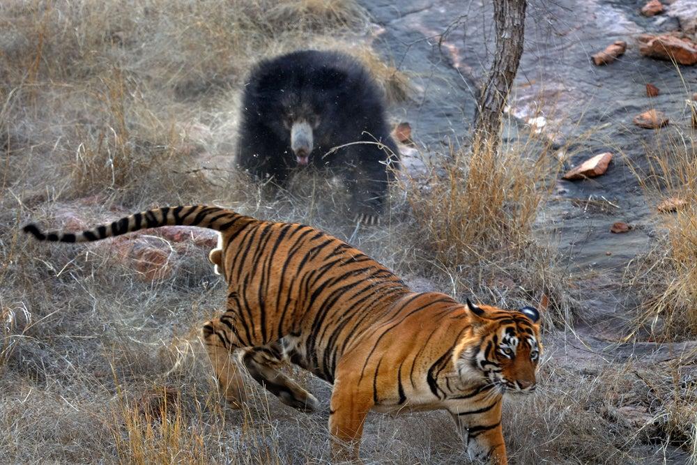 httpswww.outdoorlife.comsitesoutdoorlife.comfilesimport2014importImage2011photo100132157911_10_CATERS_Bear_tiger_11.jpg
