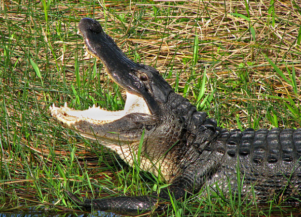 Trappers Pull 12-Foot Gator Out of Back Yard In Florida