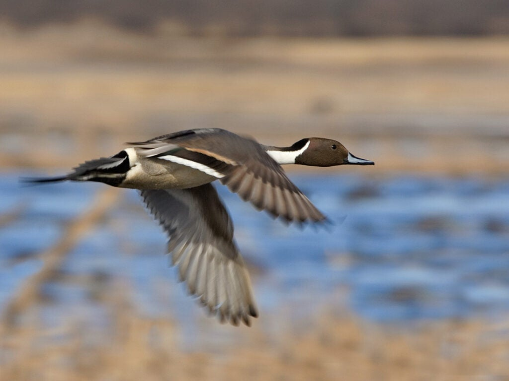 northern pintail duck, duck species, types of ducks