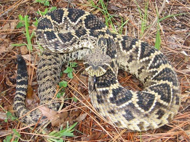 httpswww.outdoorlife.comsitesoutdoorlife.comfilesimport2014importImage2010photo300102.Eastern_Dback_snake029.jpg