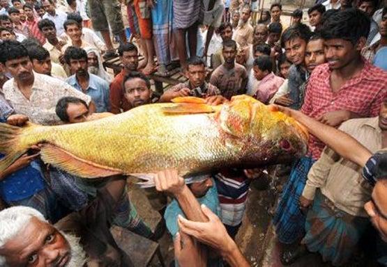 Giant 82lb Golden Snapper Sells for $38,000 in Bangladesh