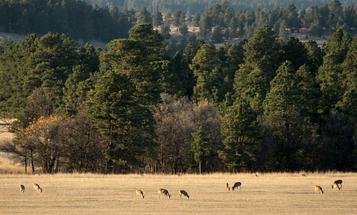 Why Buck-to-Doe Sex Ratios Matter in Your Local Deer Herd