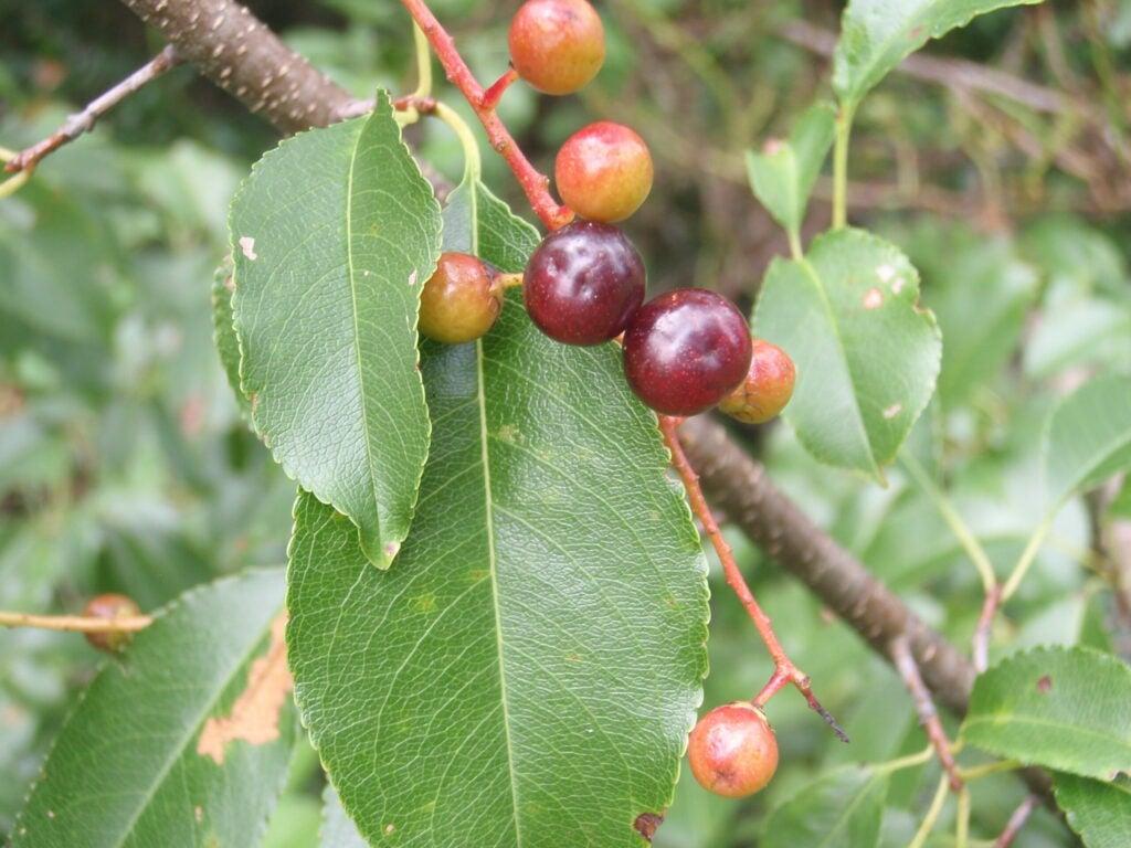 wild cherry berries