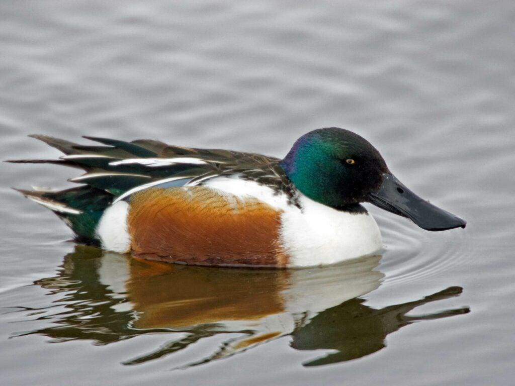 northern shoveler duck, duck species, types of ducks