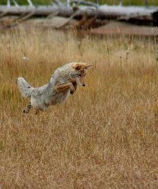 Best Coyote Shots 2