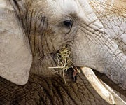 Record Number of Illegal Ivory Busts in 2011, Officials Fear Impact on Elephants