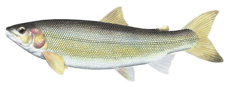 httpswww.outdoorlife.comsitesoutdoorlife.comfilesimport2014importImage2010photo300106_Mountain_White_Fish.jpg