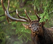 Elk Hunting: 3 Unconventional Spots to Take Your Next Bull