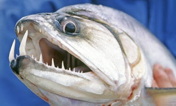 Nasty Fish Faces