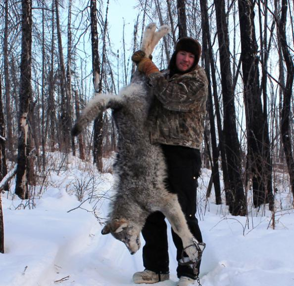 Trapping in Alaska: First Wolf of 2013