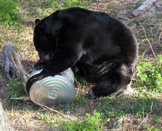 Wildlife Officials Kill 6 Black Bears After Attack on Florida Woman