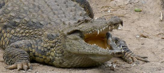 Crocodile Attacks Now Being Tracked Worldwide