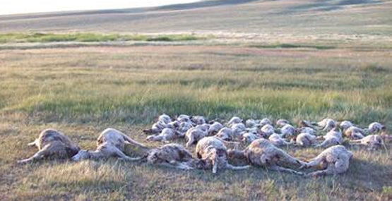 Montana Grizzly Sow Goes on Sheep Killing Spree