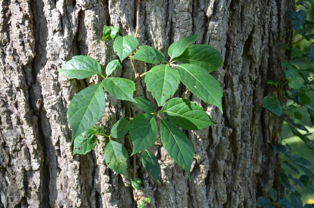 virginia creeper plant