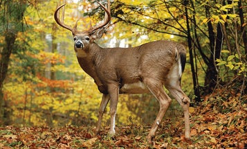 How to Hunt Monster Midwestern Bucks on Public Land