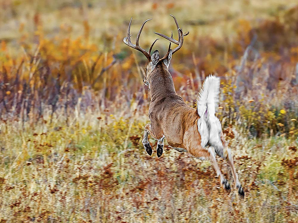 Spooked whitetail buck in a field.
