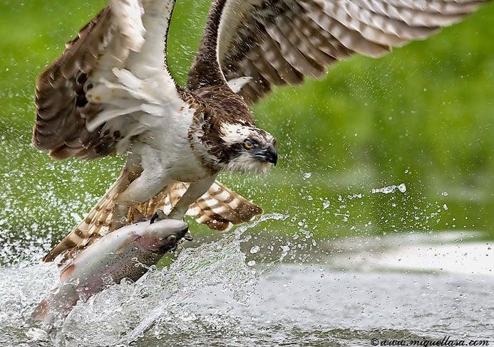 httpswww.outdoorlife.comsitesoutdoorlife.comfilesimport2014importImage2009photo7osprey_5.jpg