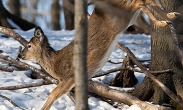 Deer Hunting Tips: What Fawn Behavior Can Tell You About the Rut