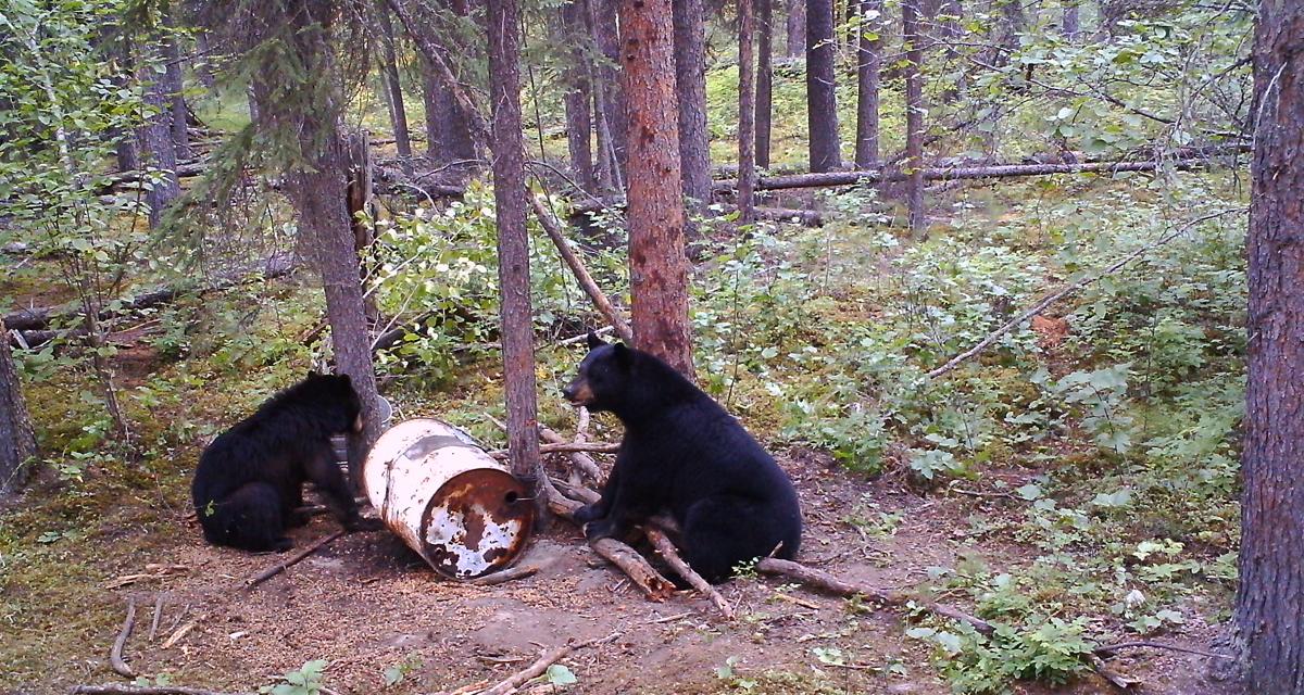 bears at bait barrel