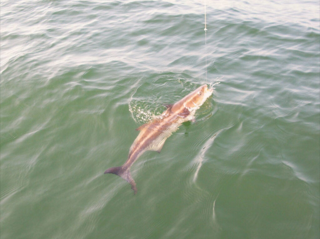 httpswww.outdoorlife.comsitesoutdoorlife.comfilesimport2014importImage2010photo30010Nathans_first_cobia.jpeg