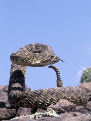 Rancher Survives Two Rattlesnake Bites