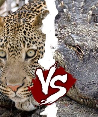 Killer Cat Week: Leopard Vs Crocodile