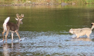 Photos: Whitetail Goes Head-to-Head with Wolf in River