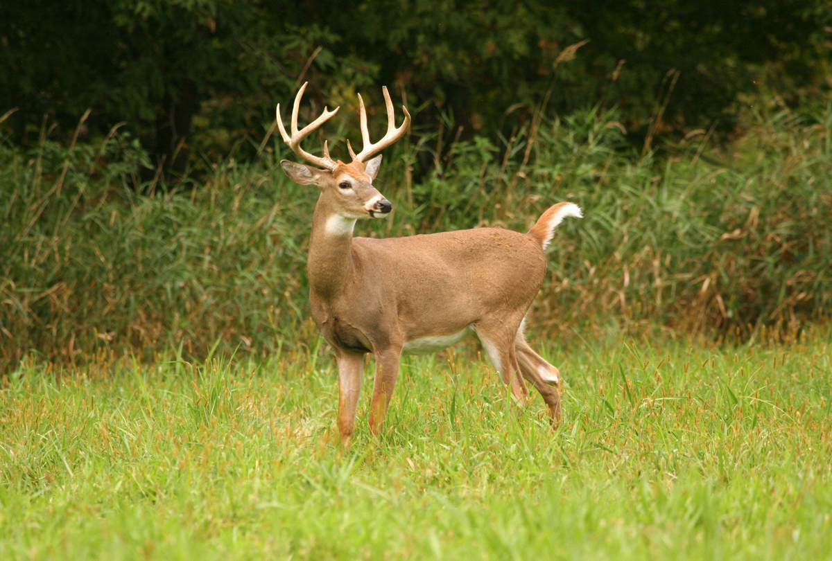 Deer Hunting: 4 Things to Look for When Snap Judging a Buck in the Field