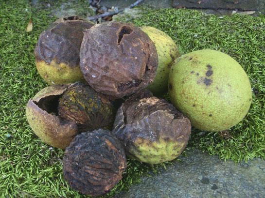 Black Walnut for Food and Supplies
