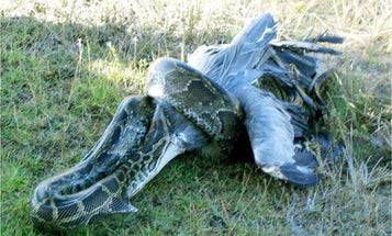 Florida Officials Say Pythons Probably Won't Kill People