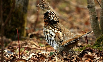 6 Great Upland-Bird Hunts on Public Land