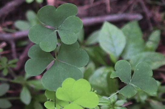 Survival Skills: How to Use Wood Sorrel for Food, and Hangovers