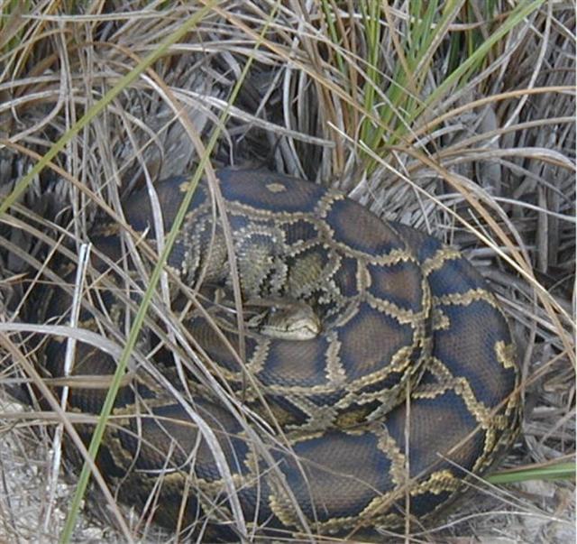 httpswww.outdoorlife.comsitesoutdoorlife.comfilesimport2014importImage2009photo7everglades_python_Small_0.jpg