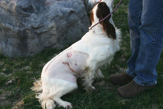 Gun Dog Health: Protect Your Hunting Dog From Grass Seed Infections