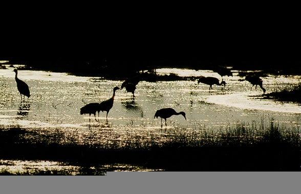 httpswww.outdoorlife.comsitesoutdoorlife.comfilesimport2013images201102Cranes_in_River_0.jpg