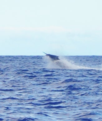 First Fish: 915-Pound Blue Marlin Caught in Hawaii