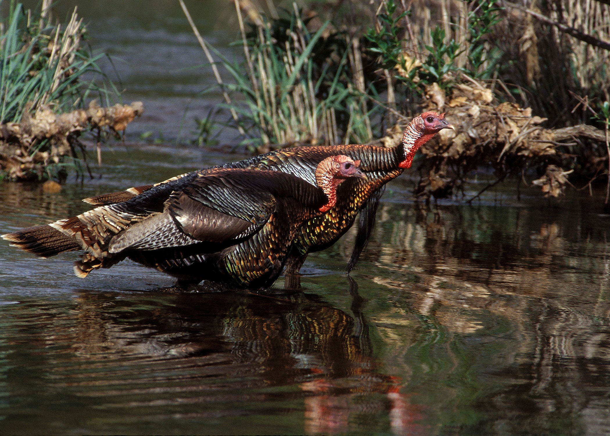 Texas Turkeys