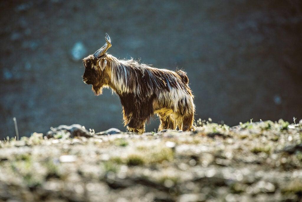 new-zealand-goat