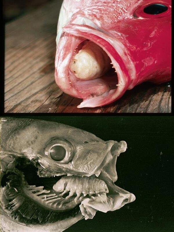 tongbiter parasite