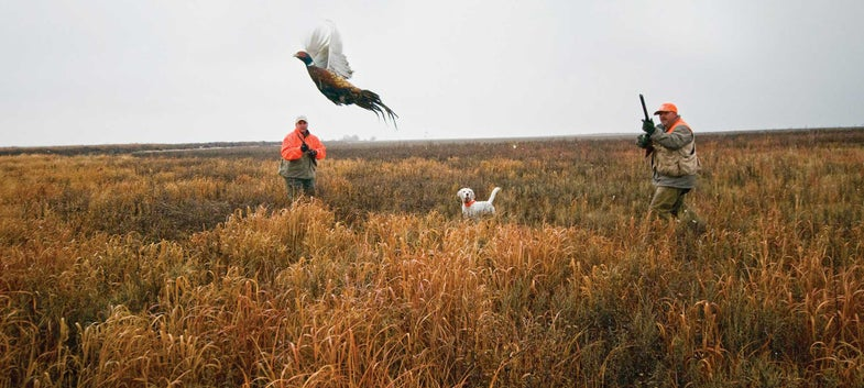 rooster pheasant flushes