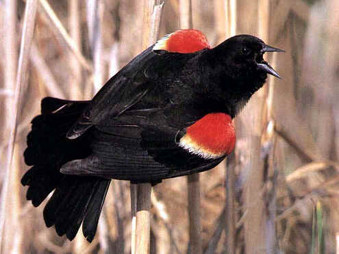 httpswww.outdoorlife.comsitesoutdoorlife.comfilesimport2014importImage2011photo6red_wing_blackbird.jpg